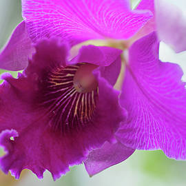 Purple Cattleya Orchid Macro