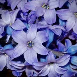 Lavender  Cluster by Alida M Haslett