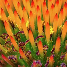 Purple Cone Flower Closeup by Brad Boland