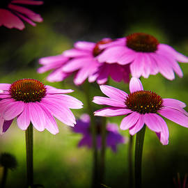 Purple Coneflowers by Milena Ilieva