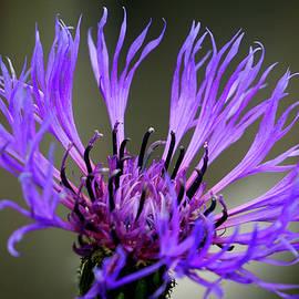 Inge Riis McDonald - Purple Cornflower