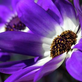 Sabrina L Ryan - Purple Daisy