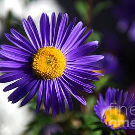 Purple Daisy by Yew Kwang