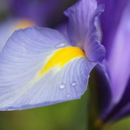 Purple Dutch Iris Flower Macro by Jennie Marie Schell