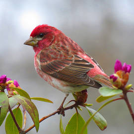 Purple Finch on The Trail by Dianne Cowen Photography