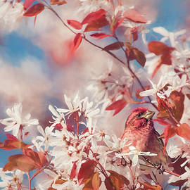 Tracy Munson - Purple finch with cherry blossoms