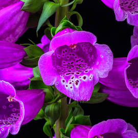 Garry Gay - Purple Foxglove