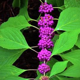 Cynthia Guinn - Purple Fruit Clusters