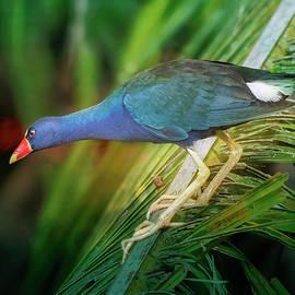 Purple Gallinule Costa Rica by Joan Carroll