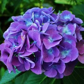 Cynthia Guinn - Purple Hydrangea