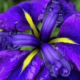 Shirley Mitchell - Purple Iris Centre