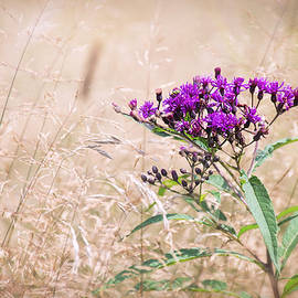 Sharon McConnell - Purple Ironweed