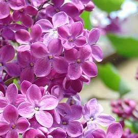 Charlotte Gray - Purple Lilacs