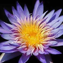 Purple Lotus by Cynthia Guinn