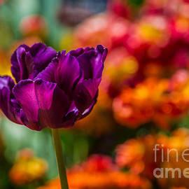 Fiona Craig - Purple Magenta Tulip