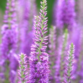 Purple Morning by Rachel Cohen