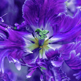 Jenny Rainbow - Purple Mysterious Parrot Tulip