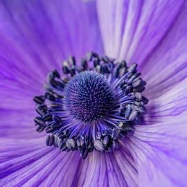Linda Howes - Purple Passion