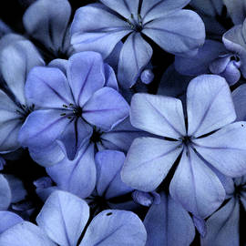 Purple Posse ... by Judy Foote-Belleci