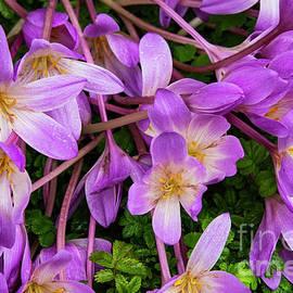 Bob Phillips - Purple Rain Lilies