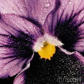 Purple Mist by Tina Barnes-Weida