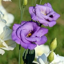 Purple roses by Gayle Miller