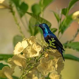 Ramabhadran Thirupattur - Purple Sunbird