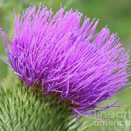 Marty Fancy - Purple Thistle