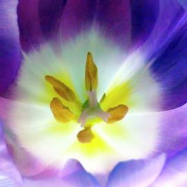 Johanna Hurmerinta - Purple Tulip Macro