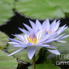 DejaVu Designs - Purple Water Lily Amongst a Bunch of Lily Pads