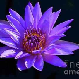 Cindy Manero - Purple Water Lily
