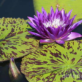 Dora Sofia Caputo Photographic Design and Fine Art - The Water Lily Pond