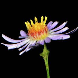 George Bostian - Purple Wildflower 005