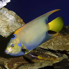 Queen Angelfish by Sally Weigand