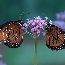 Queen Butterflies on Lavender Flowers by Lowell Monke