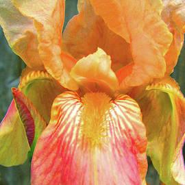 Brooks Garten Hauschild - Queen for a Day Iris - Beauty in the Garden