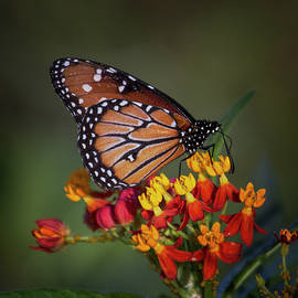 Queen butterfly on tropical milkweed  by Ruth Jolly
