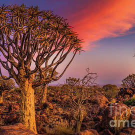 Quiver Tree Symphony by Inge Johnsson