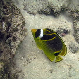 Raccoon Butterflyfish by Michael Peychich