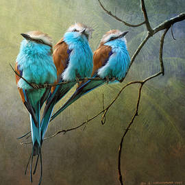 Racquet Tailed Rollers Blue Birds Of Africa by R christopher Vest