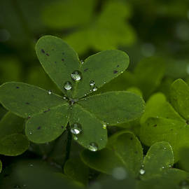 Rain Drops on Clover by Morgan Wright