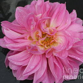 Dora Sofia Caputo Photographic Design and Fine Art - Raindrops on  Pink Dahlia