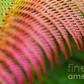 Rainbow Fern Dryopteris Wallichiana Io Nui by Sharon Mau