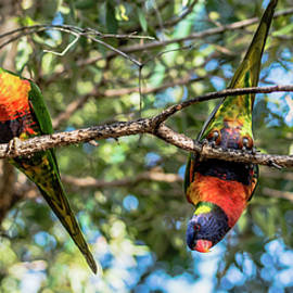 Rob D - Rainbow lorikeets outside during the day.