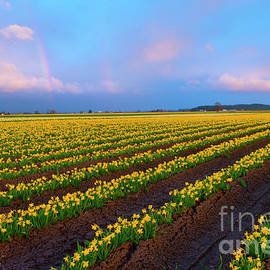 Rainbows, Daffodils and Sunset - Mike Dawson