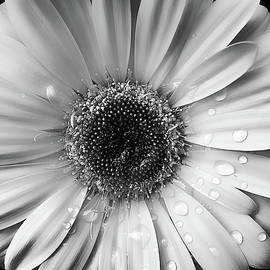 Jennie Marie Schell - Raindrops on Gerber Daisy Black and White