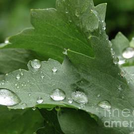 Kim Tran - Raindrops On Poppy Leaf  4