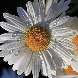 Lynn Hopwood - Raindrops on the daisy