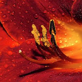 Phyllis Denton - Rainy Day Lily