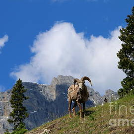 Ram Against Mountain Backdrop by Christiane Schulze Art And Photography